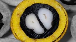 Estos frutos se derivan a la producción de biodiesel y a la industria cosmética. También son aptos para uso alimenticio. Foto: Felipe Morbi