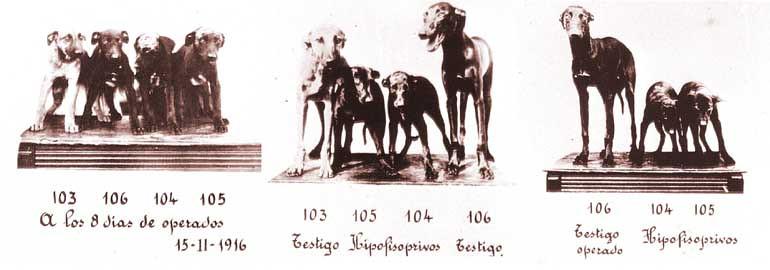 Los perros de Houssay