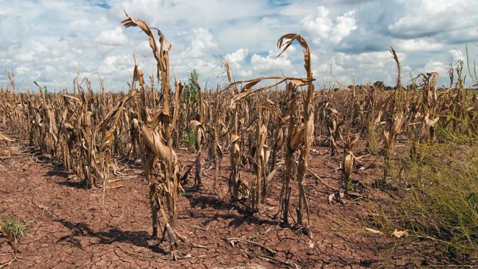 Maíz con sequía extrema