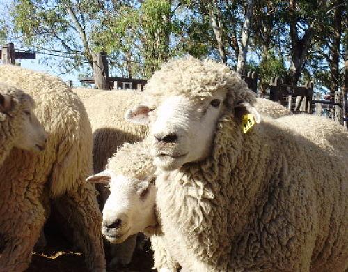 Las ovejas respondieron bien a la alimentación con avena tratada químicamente