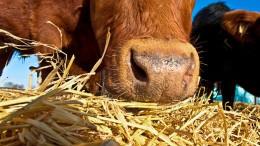 vaca comiendo paja