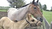 POTRILLO-NANDUBAY-CLONADO-PRESENTACION-OFICIAL_CLAIMA20101020_0090_4