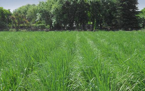 Pastura de agropiro criollo en el campo experimental de la FAUBA