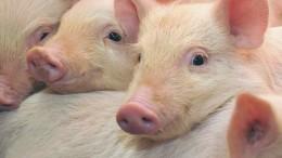 Diferentes laboratorios del mundio estudian a los porcinos para tratar enfermedades neurodegenerativas, como el alzheimer, el parkinson o la enfermedad de Huntington, también afecciones cardiovasculares, arterioesclerosis, cáncer y diabetes.