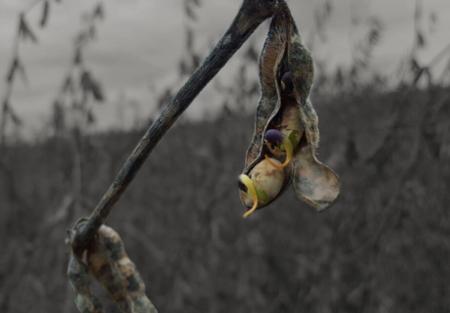 Las vainas de soja abiertas dejan ver granos germinados y enfermos.