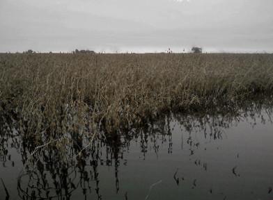 soja inundada