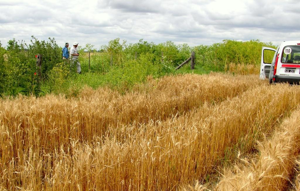 Borde de un lote de trigo en el sitio de estudio en Carlos Casares (Pampa Interior). Los bordes de cultivo y otras áreas no manejadas del paisaje pueden actuar como refugio de plantas y animales que de otra forma no estarían presentes.