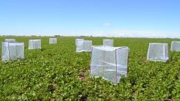 La valoración del servicio ecosistémico de polinización provisto por los insectos incluye ensayos de campo para determinar en qué medida el rendimiento de los cultivos depende de la acción de polinizadores. En la imagen se ve un ensayo de campo en soja que se realizó en la temporada 2015-2016. Fotos: Gentileza de los investigadores.