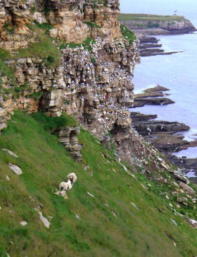 ovejas-acantilado-Noruega