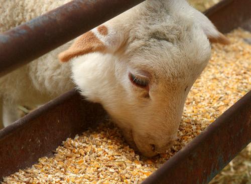 oveja comiendo maiz y soja
