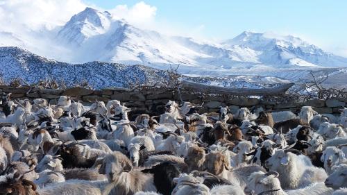 cabras en la montaña