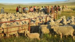 piquete de ovejas