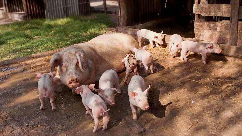 Criadero de cerdos