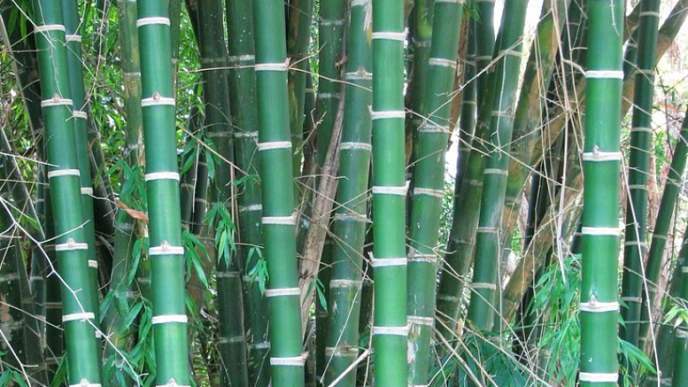 Bamb un cultivo con usos m ltiples y sorprendentes sobre la tierra - Cultivo del bambu ...
