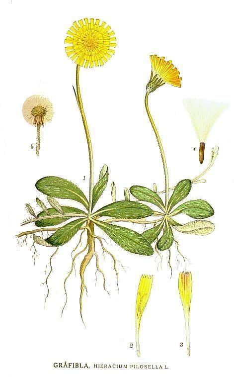H. pilosella