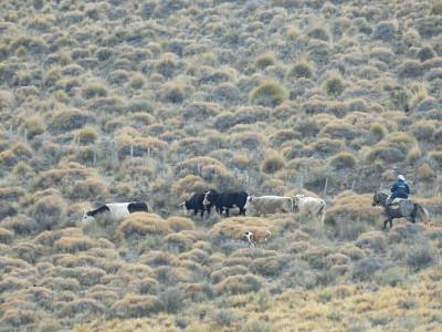 vacas arriadas