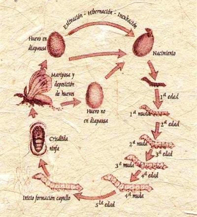 ciclo del gusano de seda