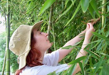 Guerreiro analizando Bambusa sp.
