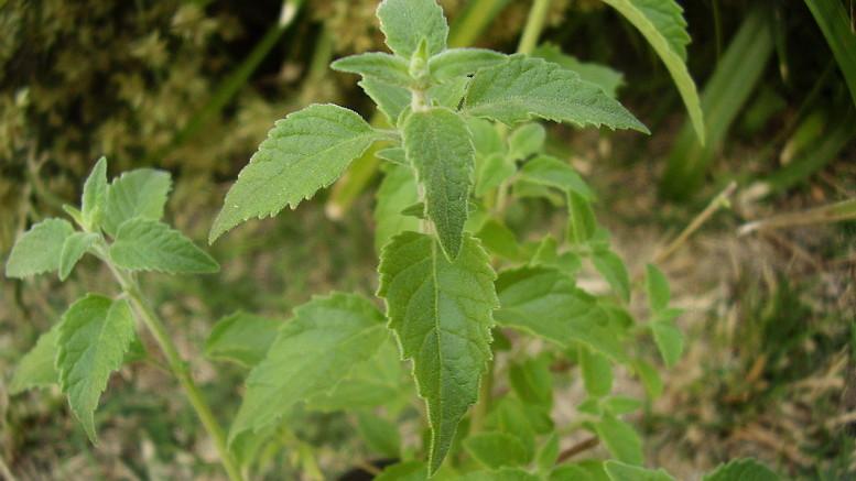 Planta de peperina