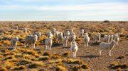 ovejas en la estepa patagónica