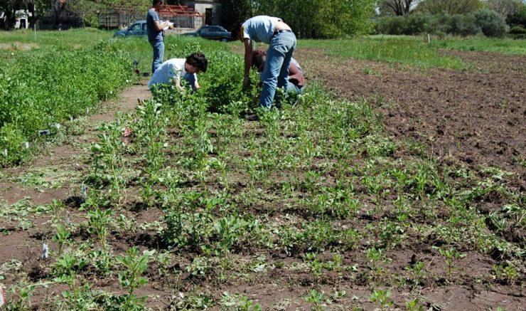 Cultivando melilotus