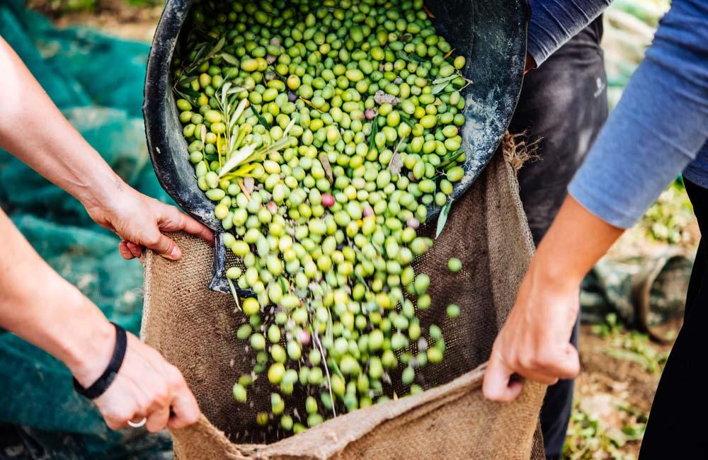 olivo-cosecha