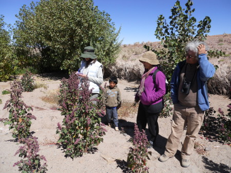 plantas de quinoa en la vecindad del sitio arqueológico