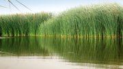 La investigación de la FAUBA usó plantas acuáticas nativas para reducir más de 90% de contaminantes comunes en efluentes agroindustriales y agropecuarios se vierten en el río Matanza-Riachuelo y que reducen la calidad de sus aguas.