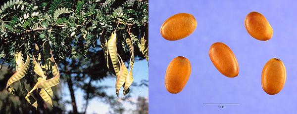 frutos y semillas de Gleditsia triacanthos