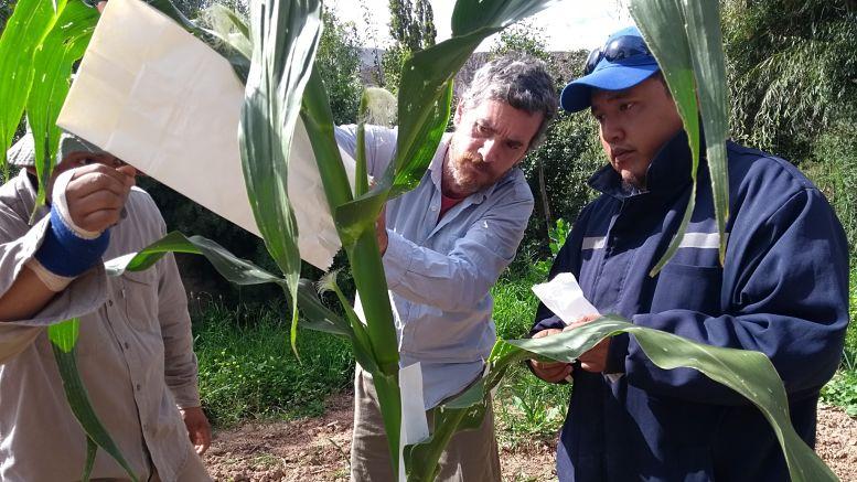 Los maíces nativos del NOA que se encontraban en Buenos Aires no podían multiplicarse en esas latitudes. Por eso, la FAUBA llevó numerosas variedades del cultivo hacia Jujuy para trabajar junto con la FFyL-UBA en el Pucará de Tilcara.