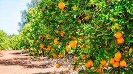 A partir de los resultados de la investigación académica, señalaron en qué meses regar el cultivo de naranjas ante las limitantes hídricas cada vez más severas en la región.