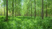 La investigación de la FAUBA realizó un aporte clave para solucionar la principal limitante de la producción silvopastoril de las islas. Por medio del 'pasto ovillo', logró incrementar de forma sustancial la productividad forrajera de las plantaciones forestales de la zona.