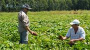 La investigación busca aportar información para mejorar la genética del cultivo como también promover su industrialización y exportación. Foto: INTA