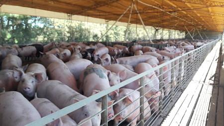cerdos confinados