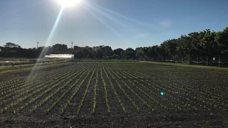 Hasta hace algunos años, el SO de la provincia Buenos Aires se realizaba maíz de forma esporádica. Hoy ya se estableció dentro de la rotación, estabilizó sus rendimientos y continúa aumentando su superficie.