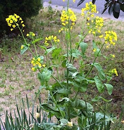 La 'nabolza' o Brassica rapa pertenece al grupo de malezas de la familia botánica Crucíferas. Compite con los cereales de invierno y puede llegar a bajar sus rendimientos. Foto gentileza J. Ferrando