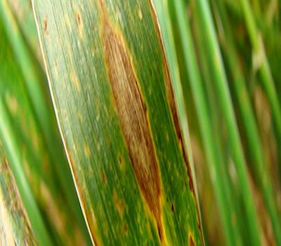 La mancha amarilla merece especial atención ya que puede aparecer en los campos a partir del restrojo de la campaña de invierno pasada o desde las semillas mal curadas