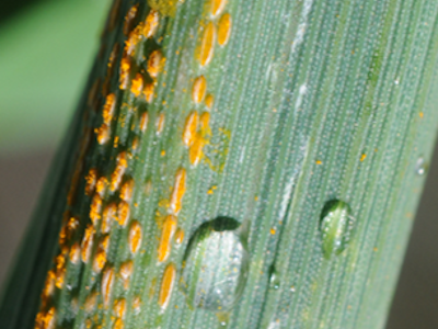 Desde hace varios años, la roya amarilla comenzó a aparecer sorpresivamente en los campos. Es una enfermedad muy agresiva y debe ser controlada a tiempo