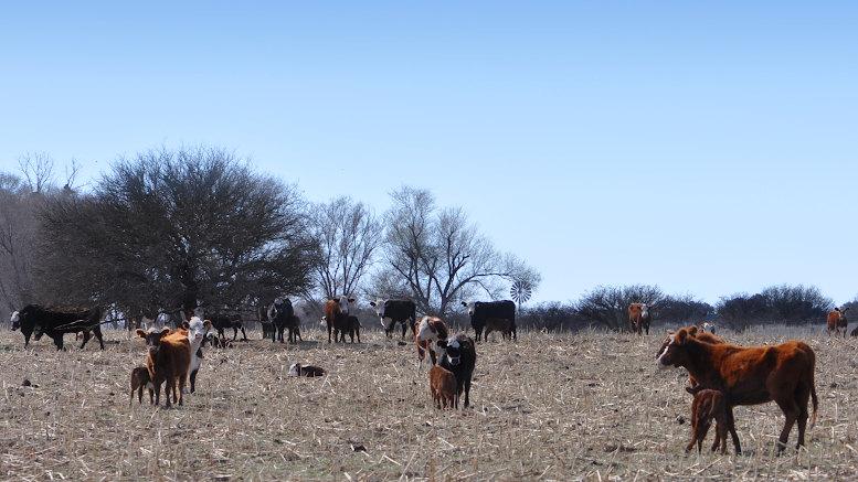 vacas en el árido