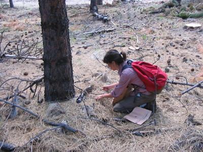 Al caer, la hojarasca del pino queda acumulada sobre el suelo, donde se descompone muy lentamente