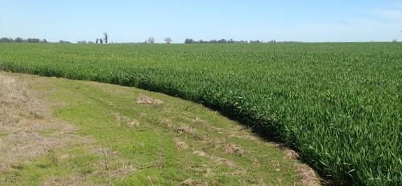 Algunas poblaciones de Capín crecen muy bien en suelos inundados. Eso convierte a esta maleza en un problema frecuente en cultivos de arroz. Los estudios de la FAUBA indagaron en poblaciones de Capín que no germinan bajo el agua