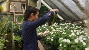 Midiendo plantas de alegría del hogar en el invernáculo