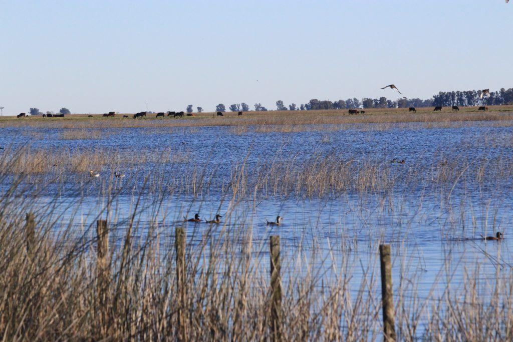 Aves acuáticas en la laguna Teros, que tiene impacto de la actividad ganadera.