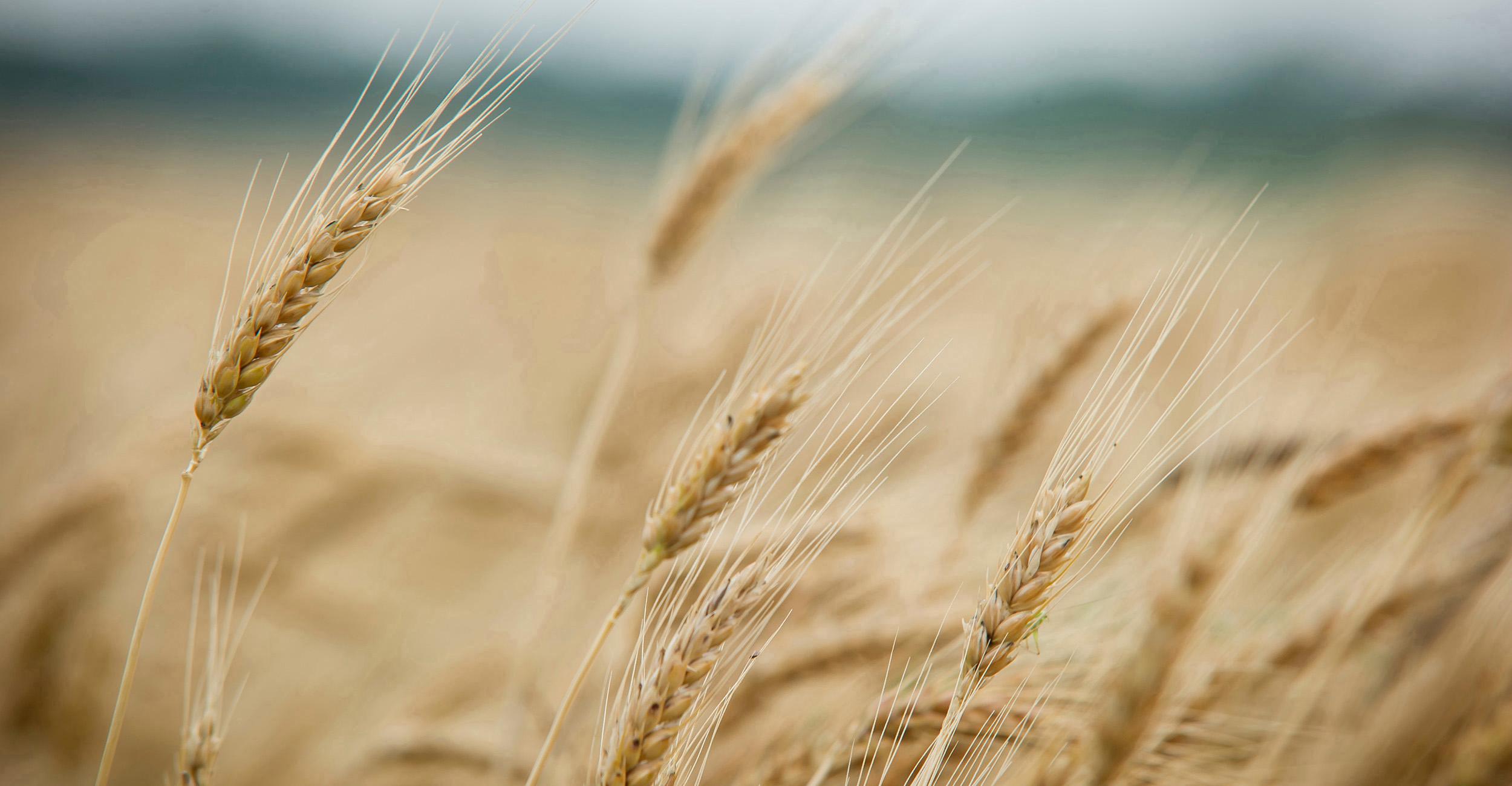 El trigo HB4 es el primer trigo transgénico del mundo y presenta dos características: resistencia a las sequías y al herbicida glufosinato