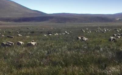 El pastoreo es la acción humana directa más extendida sobre el planeta. En la Patagonia parecería profundizar las tendencias decrecientes en la productividad de la vegetación